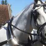 classic horse and carriage hire essex
